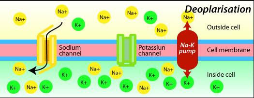 k_channel_99_sodium